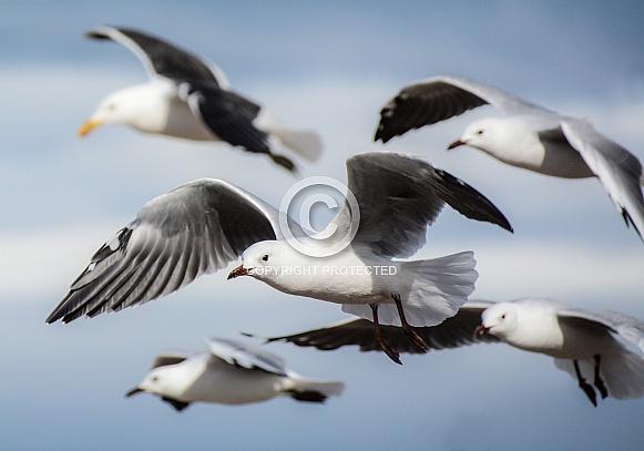 Cape Gulls in flight