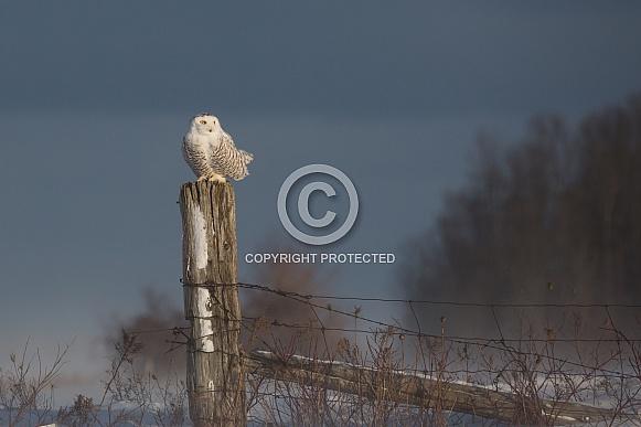 Female Snowy Owl on a Fence Post
