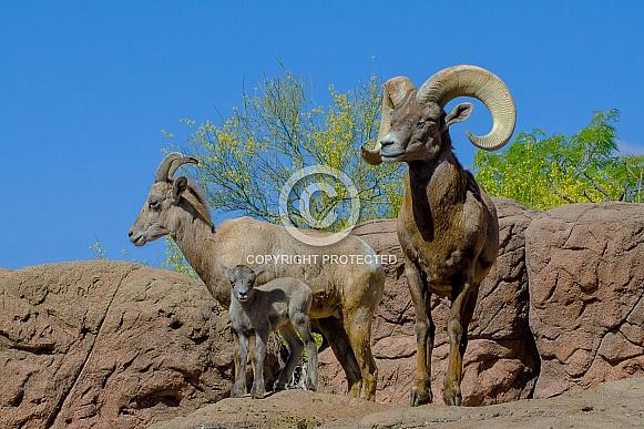 Bighorn Sheep Family - Ram, Ewe, and Lamb