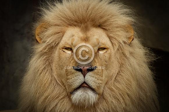 Closeup Lion