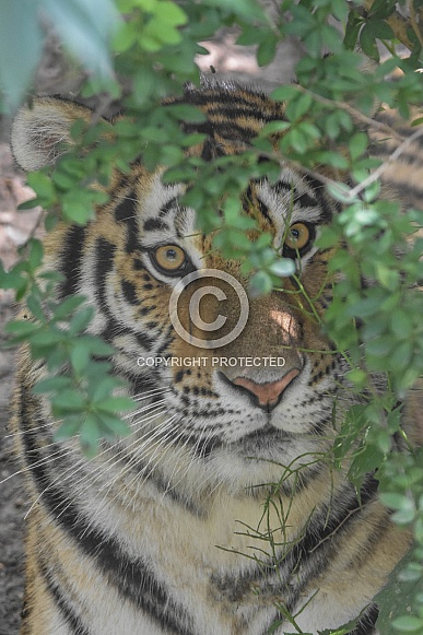 Amur Tiger hiding in bush