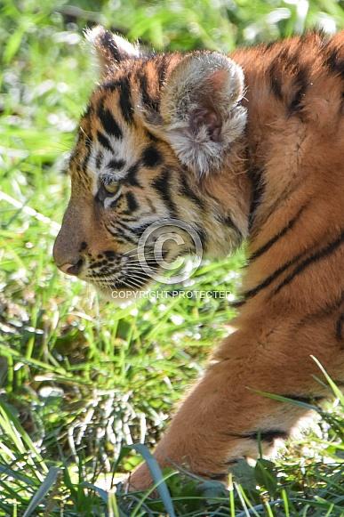 Amur tiger cub