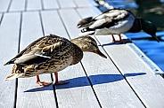 Female Mallard Duck Standing on Pier