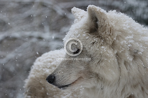 hudson bay wolf in the snow