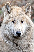 Young Hudson Bay Wolf