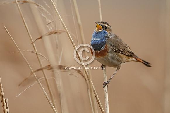 Bluethroat perched on a twig