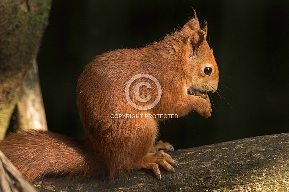 Red Squirrel On Branch Eating