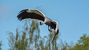 Flying crowned crane
