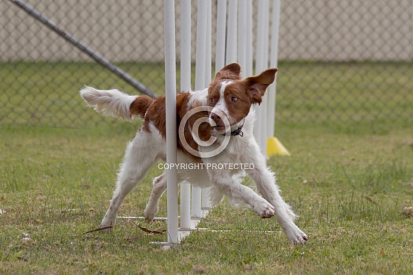 Brittany spaniel weaving (male)