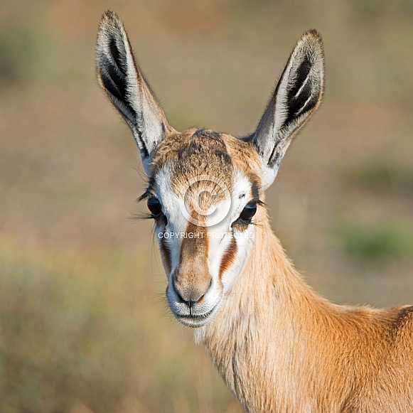 Female Springbok Portrait