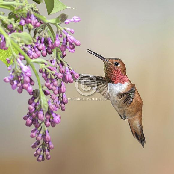 Rufous Hummingbird & Lilac (wild male)