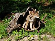 2 Coyote pups