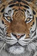 Male Amur Tiger