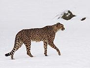 Cheetah in the snow