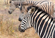 Rainy day Zebra Kruger RSA