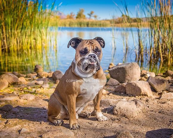Bulldog by the pond in the morning
