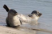 Earless seals
