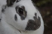 Domestic Rabbit Close-up