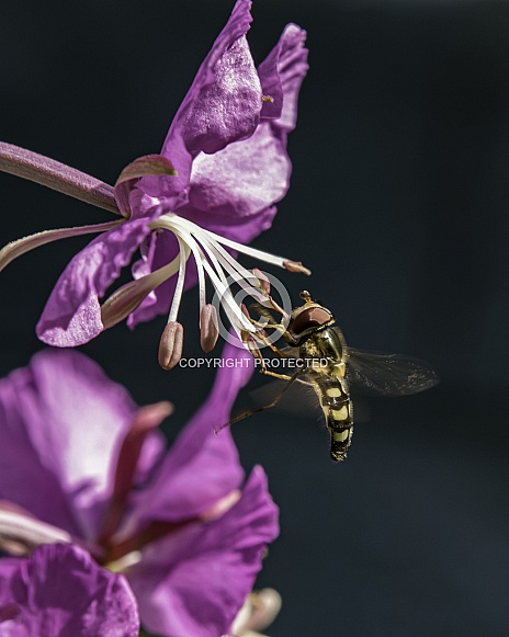 Hoverfly on Fireweed in Alaska