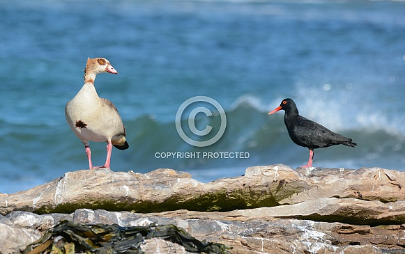 Egyptian Goose and Black Oystercatcher