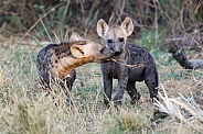 Spotted Hyena Cubs (wild)