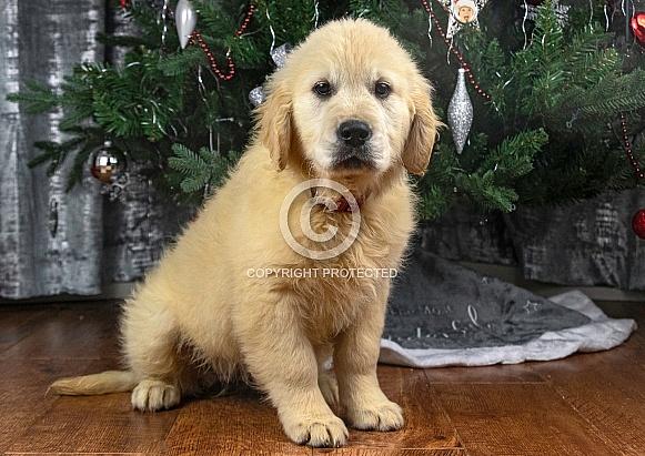 Golden Retriever Puppy Sitting Down