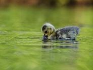 Canada Goose Chick/Gosling