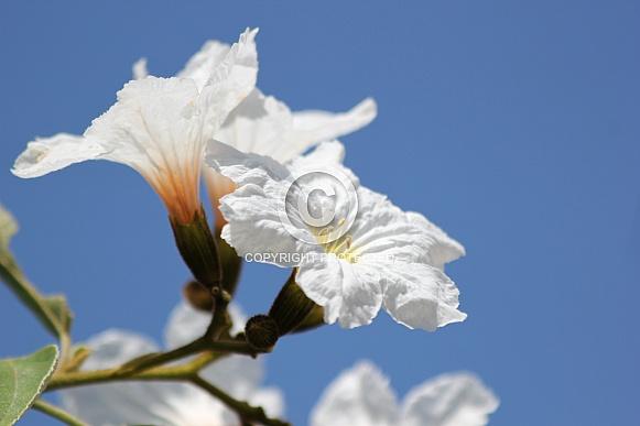 Wild Olive flower