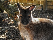 Australian Wallaby