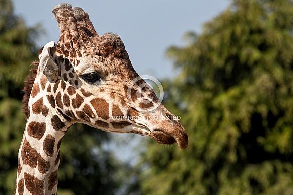 Reticulated Giraffe Face Shot