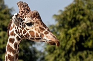 Reticulated Giraffe Face Shot