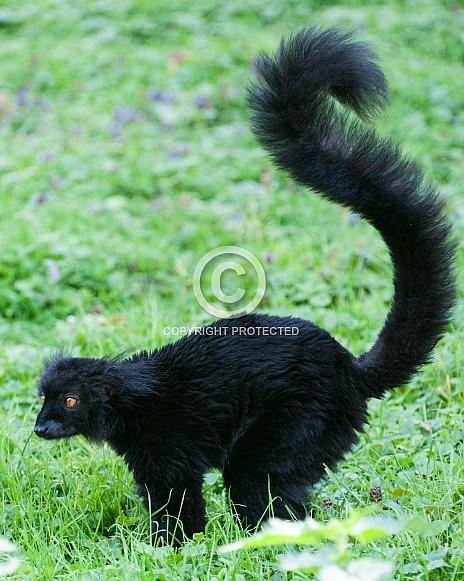 Black Lemur male