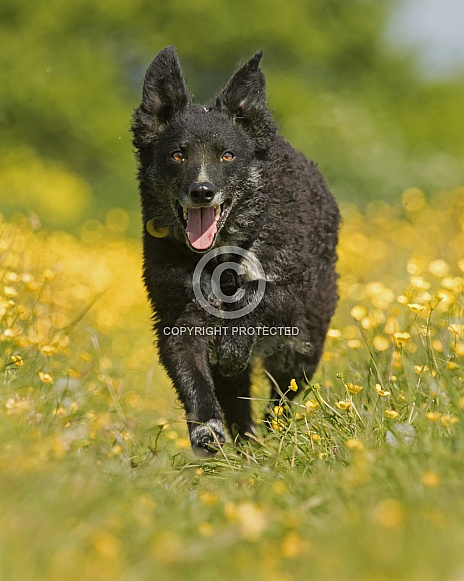 Curly-Coated Border Collie in Buttercups