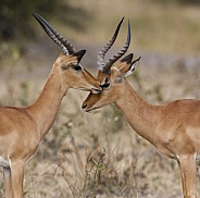 Impala - Savuti region of Botswana