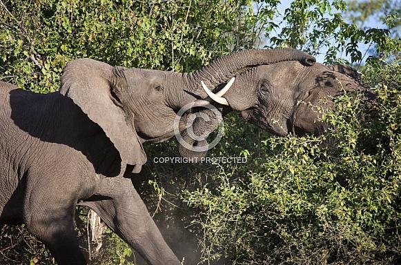 African Bull Elephants Fighting