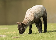 Young Lamb Grazing