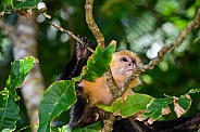 Capuchin Monkey 3