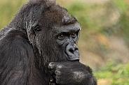 Female Western Lowland Gorilla Sucking Her Thumb