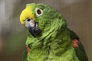 Yellow Fronted Amazon Parrot Close Up