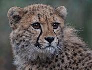 Cheetah cub portrait