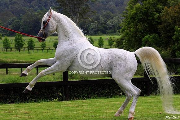 Arabian Stallion Half Rear