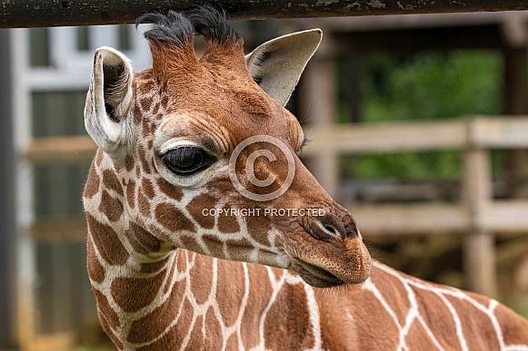 Reticulated Giraffe Calf Close Up Head Shot