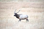 Wild bull elk during rut