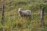 Ovis aries, domestic sheep