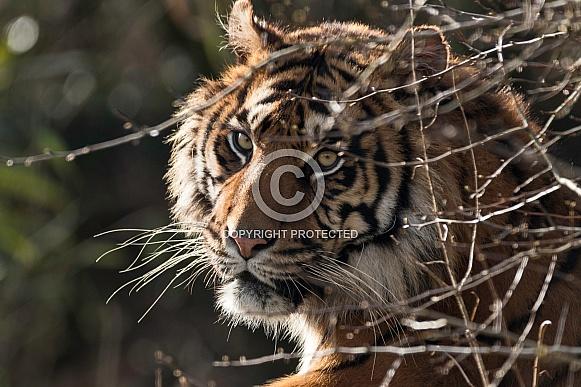 Sumatran Tiger Looking Through Bush