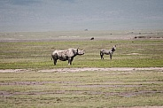 Black Rhinoceros and Zebra