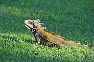 Iguana, St John, VI