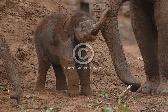 Asian Elephant Calf Trunk In Air