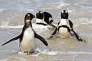 Penguins walking out of the ocean in South Africa