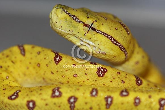 Baby Green Tree Python